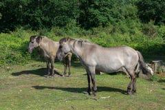 Konik ponnyer arkivfoton