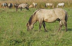 Konik wild horse Stock Photo