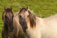 Konik wild horses Royalty Free Stock Images