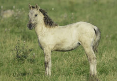 Konika koński ptactwo w dzikim Zdjęcia Stock