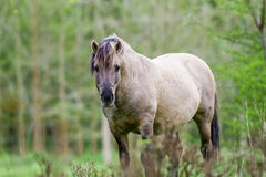 Konikhorse on the field Royalty Free Stock Photography