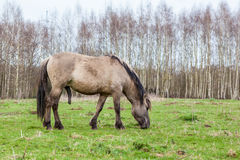 Konikhorse On The Field Royalty Free Stock Photo