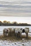 Koniki karmi w śniegu zakrywali pole, Holywell, Northumberland Fotografia Stock