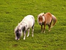 koniki Shetland dwa Zdjęcia Royalty Free