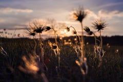 Koniklec Pulsatilla kwiat Zdjęcia Royalty Free