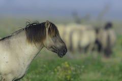 Konikpaard op van hem  Royalty-vrije Stock Afbeelding