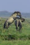 Konikpaarden in Oostvaarderplassen Royalty-vrije Stock Afbeelding