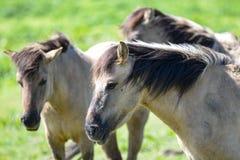 Koniks paarden stock images
