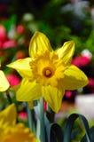 Koning Alfred Trumpet Narcissus Daffodil Stock Foto