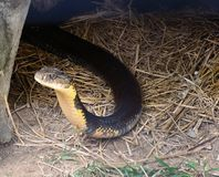 Koning Cobra Stock Afbeelding