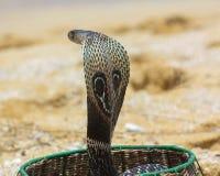 Koning Cobra Royalty-vrije Stock Fotografie