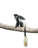 Koning Colobus, of Colobus-guereza Stock Afbeeldingen