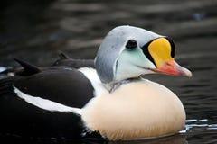 Koning Eider Bird in Water stock fotografie