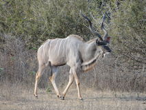Koning Kudu royalty-vrije stock foto