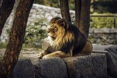 Koning Lion stock foto's