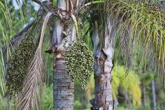 Koning Palm Seeds Stock Fotografie