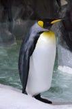 Koning Penguin - Aptenodytes Patagonicus stock afbeeldingen