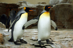 Koning Penguin (Aptenodytes-patagonicus) Royalty-vrije Stock Afbeelding