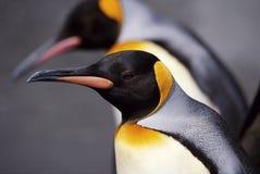 Koning Penguin Cose-Up royalty-vrije stock afbeeldingen