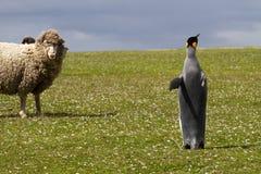 Koning Penguin en nieuwsgierige schapen stock fotografie