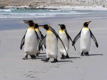 Koning Penguin Group, Aptenodytes-patagonica, op het witte zandige strand van Vrijwilligerspunt, de Falkland Eilanden/Malvinas stock afbeelding