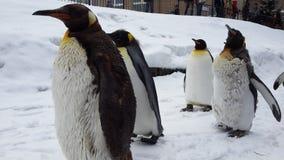 Koning Penguin in Hokkaido, Japan stock afbeelding