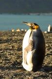 Koning Penguin Leaning op Staart royalty-vrije stock foto's
