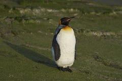 Koning Penguin op Saunders-Eiland royalty-vrije stock foto