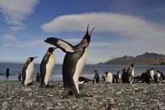 Koning Penguin in Zuid-Georgië Royalty-vrije Stock Foto's