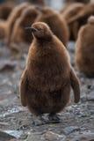Koning Penguins royalty-vrije stock afbeeldingen