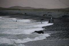 Koning Penguins bij Fortuna Baai royalty-vrije stock afbeelding