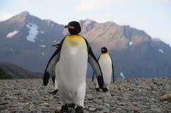 Koning Penguins bij Fortuna Baai royalty-vrije stock afbeeldingen