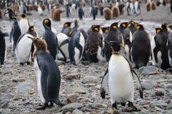 Koning Penguins bij Fortuna Baai stock foto's
