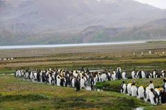 Koning Penguins bij Fortuna Baai royalty-vrije stock fotografie