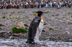Koning Penguins bij Fortuna Baai stock foto
