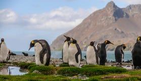 Koning Penguins bij Fortuna Baai royalty-vrije stock foto