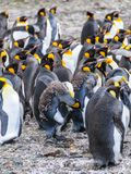 Koning Penguins bij Fortuna Baai royalty-vrije stock foto's