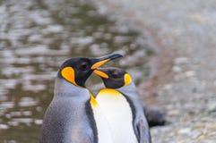 Koning Penguins bij Fortuna Baai stock afbeeldingen
