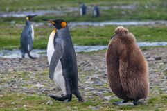 Koning Penguins royalty-vrije stock fotografie