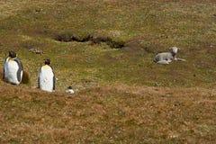 Koning Penguins op een Schapenlandbouwbedrijf - Falkland Islands stock fotografie