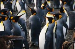 Koning Penguins op Gouden Haven royalty-vrije stock foto's