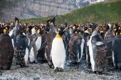 Koning Penguins op Gouden Haven stock afbeeldingen