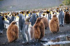 Koning Penguins op Gouden Haven royalty-vrije stock foto