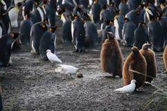 Koning Penguins op Gouden Haven stock afbeelding