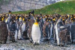 Koning Penguins op Gouden Haven royalty-vrije stock fotografie