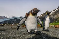 Koning Penguins op Gouden Haven stock foto's