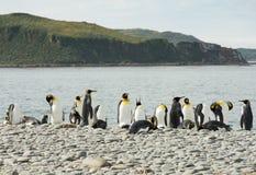 Koning Penguins op Gray Pebble Beach royalty-vrije stock afbeelding