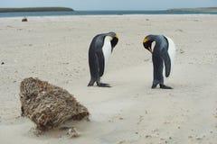 Koning Penguins Preening royalty-vrije stock afbeeldingen