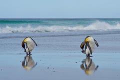 Koning Penguins Preening - Falkland Islands royalty-vrije stock foto