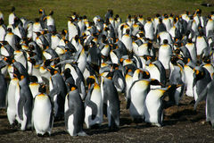 Koning Penguins, Vrijwilligerspunt, Falkland Islands stock fotografie